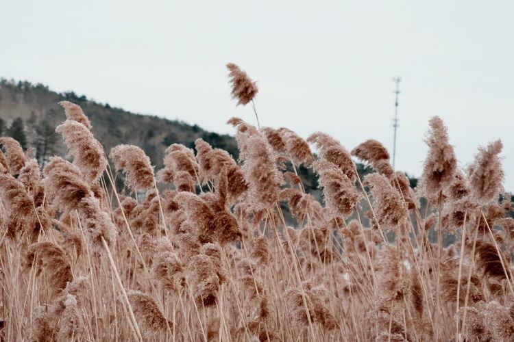 Dry grass in the winter
