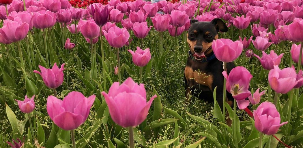 Tulips and Min Pin Miniature Pinscher Min Pin Smile Min Pin Springtime Spring Tulip Flowers Tulips🌷 Flowering Plant Flower One Animal Animal Themes Canine Mammal Dog Pets Pink Color Petal