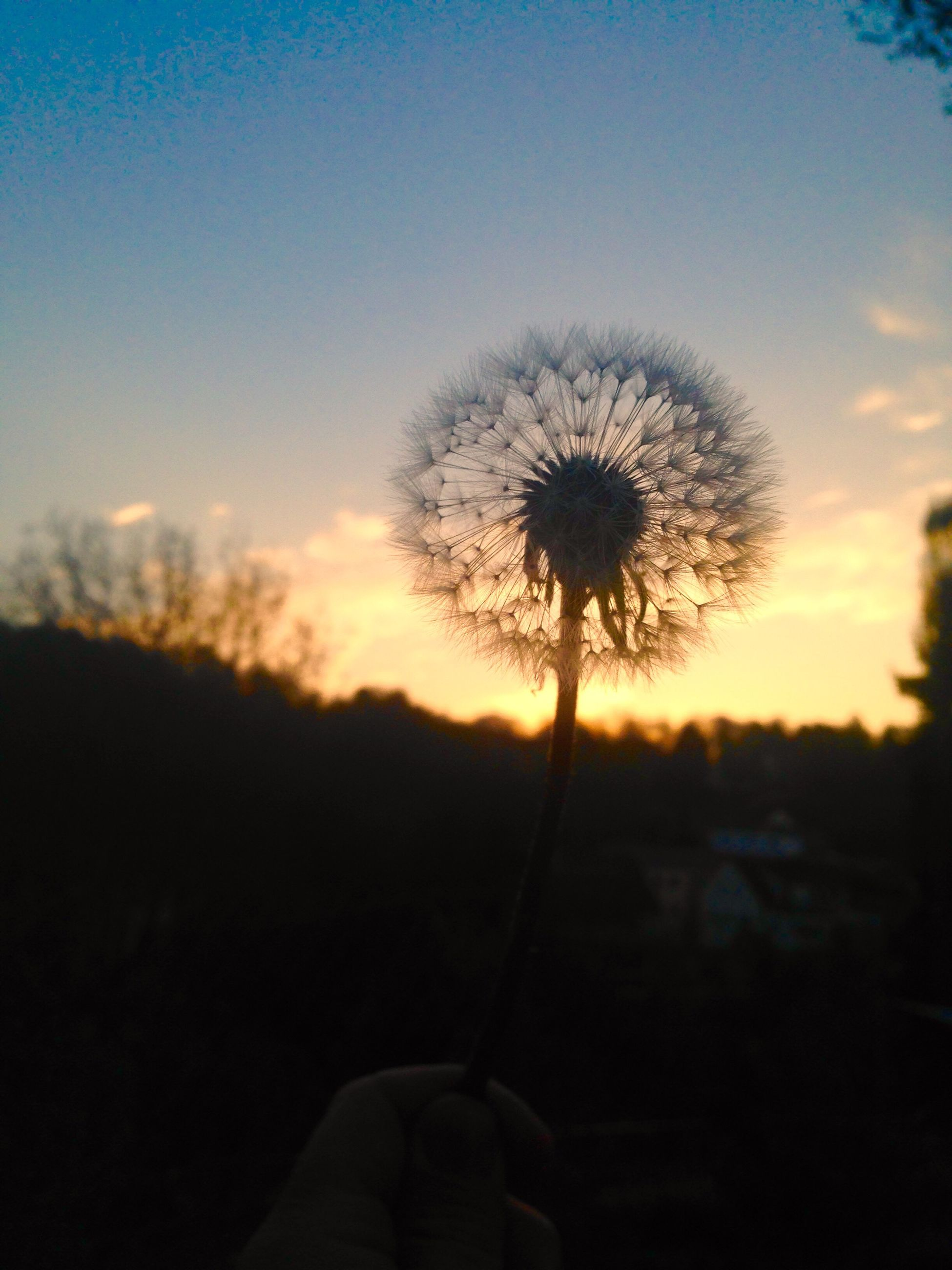 flower, dandelion, sunset, nature, beauty in nature, silhouette, plant, fragility, growth, holding, one person, human hand, sky, outdoors, flower head, real people, close-up, human body part, freshness, day, people