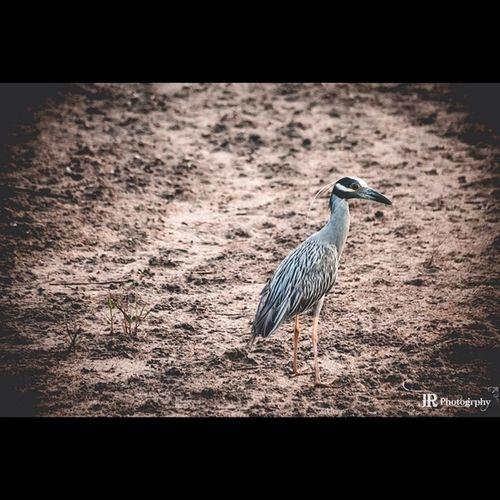 Yellowcrownnightheron Marshbirds SC Lowcountry Heronfamily PrettyBird