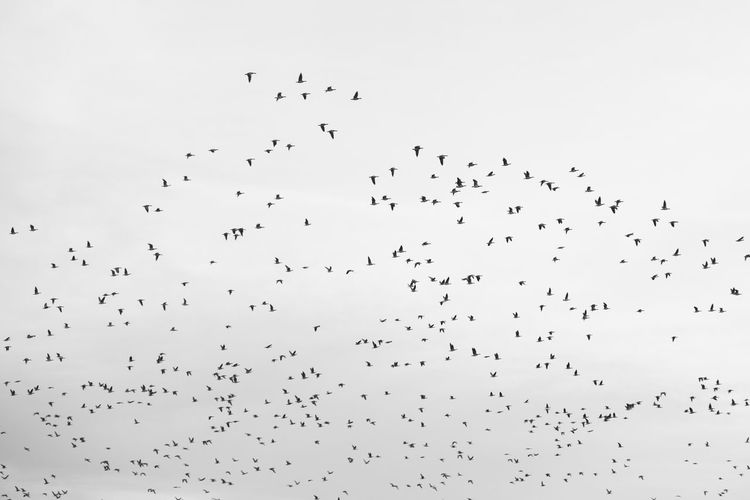 Flock of birds flying in the sky