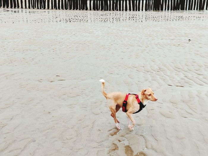 High angle view of dog running on beach