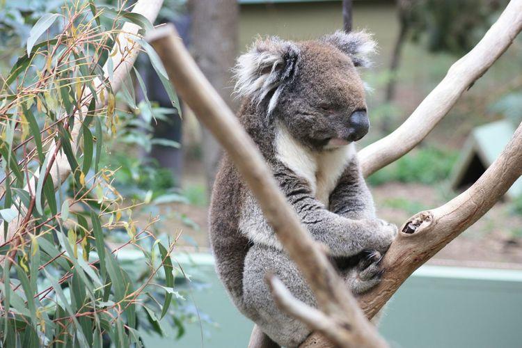 Koala resting on tree