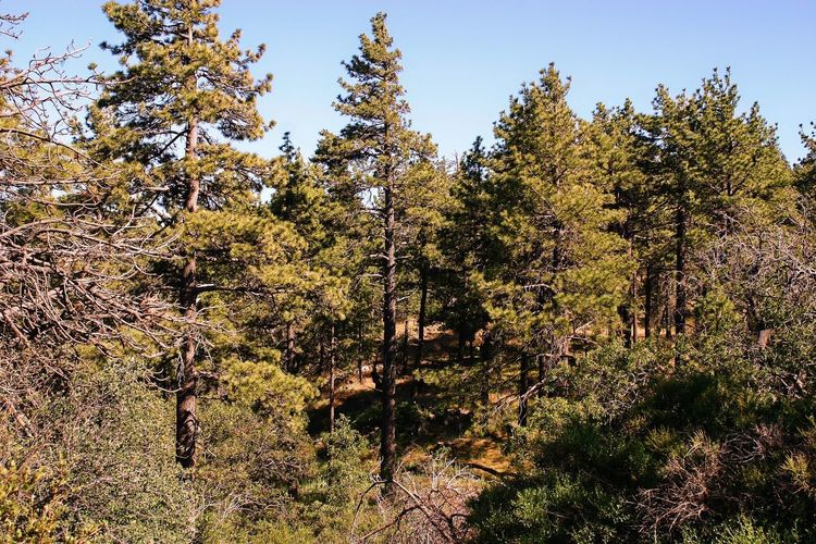 Tree Growth Forest Nature No People Pine Tree Day Outdoors Beauty In Nature Clear Sky Sky