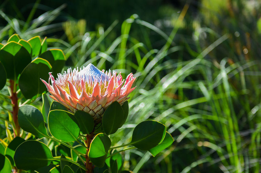 Protea, South Africa's state flower Beauty In Nature Close-up Day Flower Flower Head Flowering Plant Focus On Foreground Fragility Freshness Green Color Growth Inflorescence Leaf Nature No People Petal Plant Plant Part Pollen Protea Vulnerability