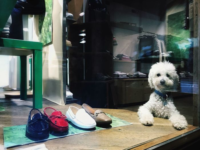 Self-Control // Cavalese (TN) // Apr'17 Dog Pets Mammal Indoors  Animal Themes Domestic Animals No People Day Trentino Alto Adige Cavalese Shoes Self-control IPhone IPhoneography IPhone 7 BYOPaper! The Street Photographer - 2017 EyeEm Awards