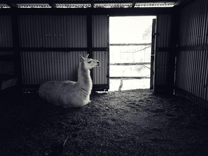 Llama relaxing in shed