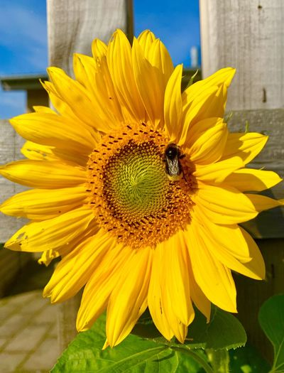 Close-up of honey bee on sunflower
