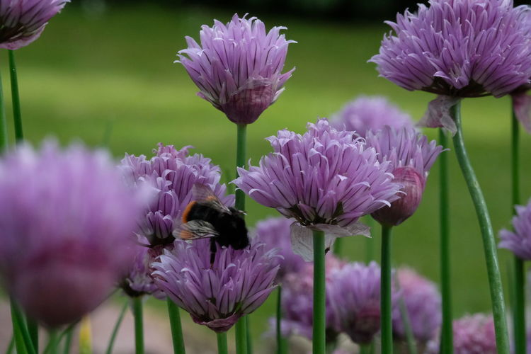 Close-up of honey bee on bunch of purple flowers