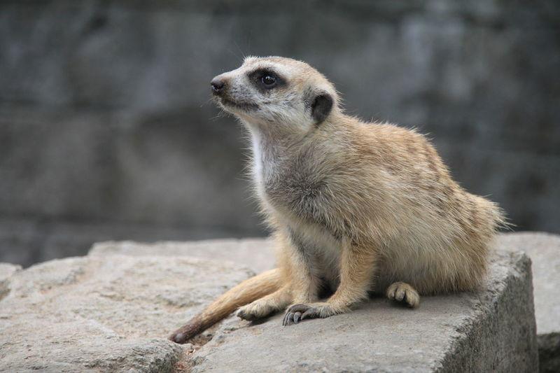 meerkat Animal Animal Wildlife Meerkat Animals In The Wild One Animal Mammal Animal Themes Nature