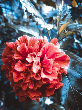 Beauty In Nature Botany Bouquet Close-up Day Flower Flower Head Flowering Plant Focus On Foreground Fragility Freshness Growth Inflorescence Nature No People Outdoors Petal Pink Color Plant Pollen Red Vulnerability