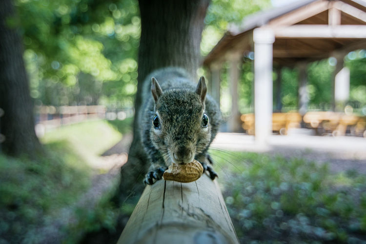 Close-Up Of Squirrel Eating Peanut In Park