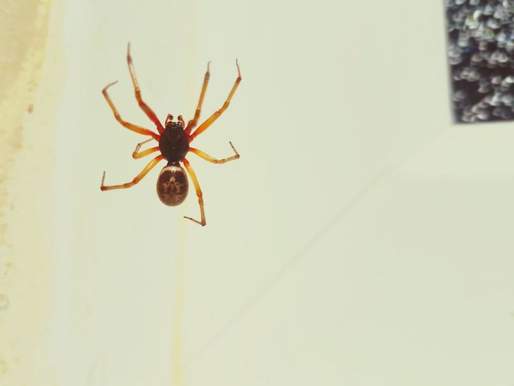 Spider One Animal Insect Animal Wildlife Animals In The Wild Animal Themes No People Day Close-up Outdoors Arachnid Arachnophobia False Widow Black Widow Fangs Bite Poison Poisonous Web