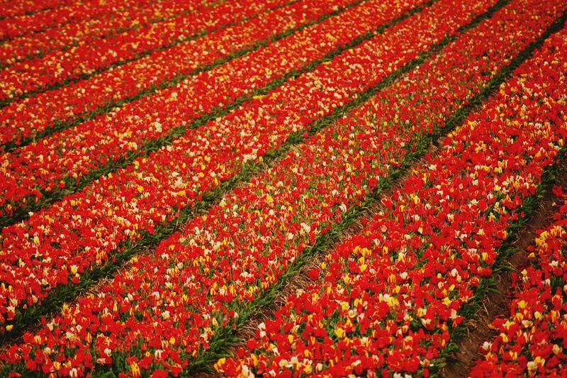 Full Frame Shot Of Red Flower Field