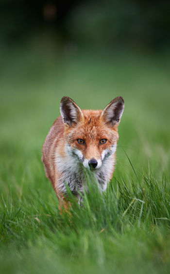Fox standing on grassy field