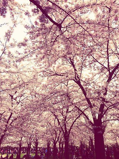 Sakura blossem