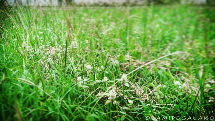 Growth Green Color Focus On Foreground Beauty In Nature Grass Area Selective Focus Field Blade Of Grass Green Grass Plant Grassy Nature