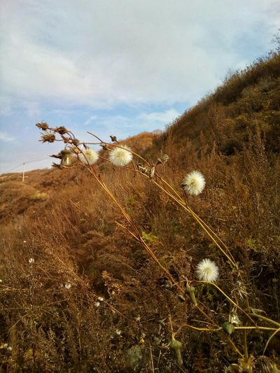 Autumn nature Nature Outdoors Day Cloud - Sky Sky Growth Plant Autumn October No People Flower Sonchus Sow Thistle