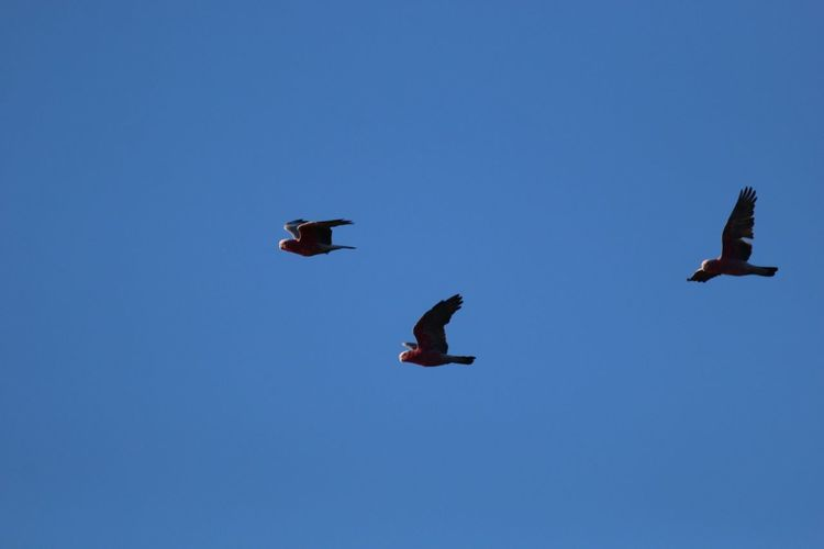 Galahs Australian Birds Australian Birds In The Wild Galah Bird Of Prey Bird Spread Wings Flying Clear Sky Blue Vulture Mid-air Sky Animal Themes Fly