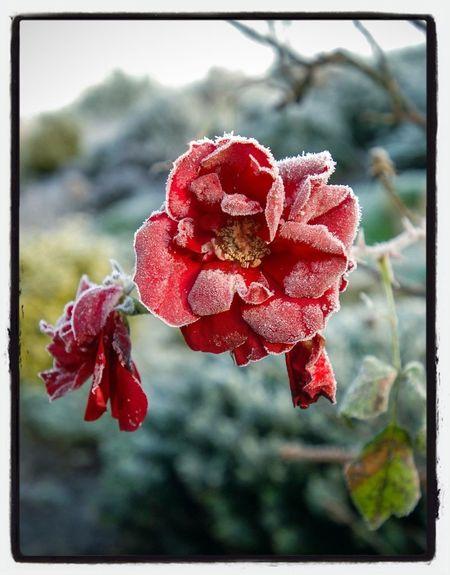 Garden Frost Nikon Flowerporn