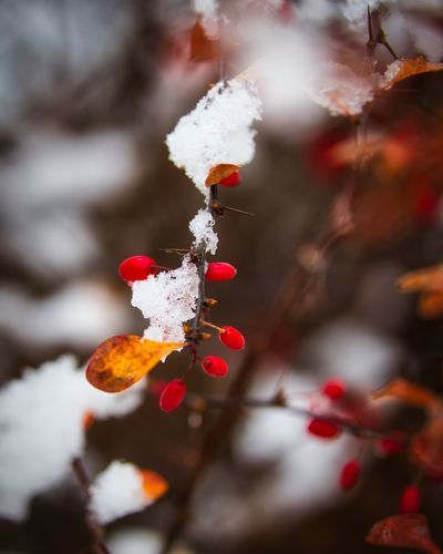 Close-up of red berries on plant during winter