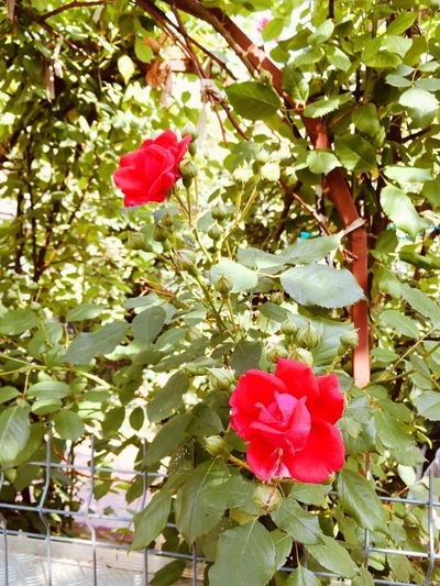 Roses Plant Growth Beauty In Nature Flower Flowering Plant Plant Part Leaf Red Freshness Pink Color Nature Fragility Vulnerability  Petal Rosé Tree Day No People Rose - Flower Flower Head