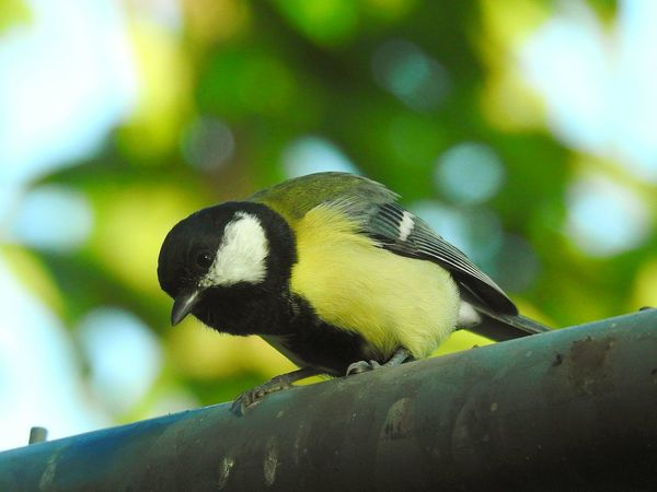 Animal Wildlife Perching Animals In The Wild Bird One Animal Animal Themes Nature Outdoors No People Branch Day Tree Close-up Food Beauty In Nature Sky Tomtit Paint The Town Yellow