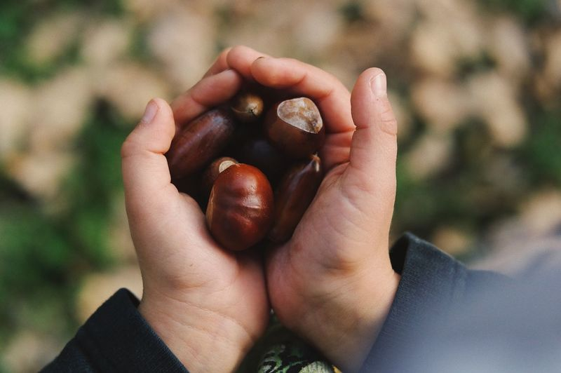 Close-up of hand holding chestnut