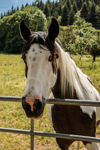 Horses on the green meadow Animal Animal Head  Animal Pen Animal Themes Animal Wildlife Barrier Boundary Day Domestic Domestic Animals Fence Field Focus On Foreground Herbivorous Horse Land Livestock Mammal No People One Animal Outdoors Paddock Pets Plant Vertebrate