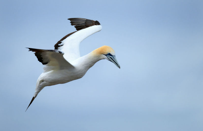 Bird Animal Themes Animals In The Wild Animal Wildlife Sky Flying Spread Wings Low Angle View Blue No People Mid-air One Animal Portland Victoria Australasian Gannet Point Danger Telephoto Birds
