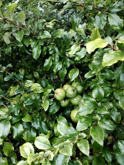 Green Color Leaf Nature Growth Plant Freshness No People Outdoors Full Frame Chaenomeles Japonica Fruits Home Grown Garden Photography Lush Greenery Leaves🌿 After Rain
