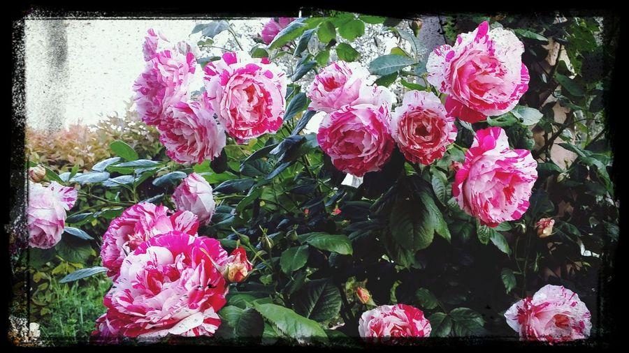 Roses. Roses Ros 🌹 Nature Garden