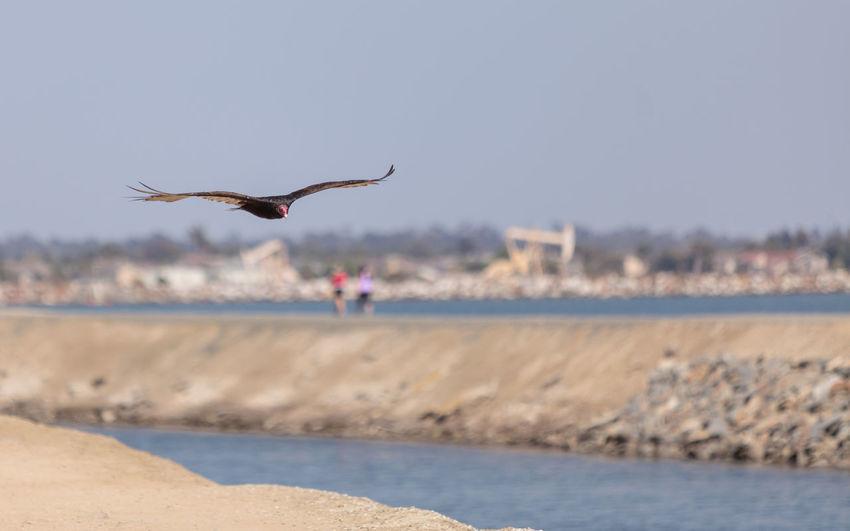 Turkey Vulture in flight (Catharte aura) in Huntington Beach, Southern California Animal Themes Animals In The Wild Bird Bird Of Prey Catharte Aura Day Marsh Nature One Animal Outdoors Predator Turkey Vultures Water Wetland Wildbird