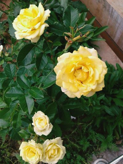 Rose flowers NuweraEliya SriLanka Decorations More Flower Bed Flower Yellow Petal Fragility Freshness Beauty In Nature Nature Flower Head Plant Growth Daffodil Rose - Flower No People Close-up Leaf Day Outdoors EyeEmNewHere