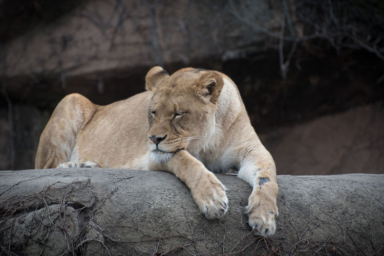 Lioness lying on retaining wall