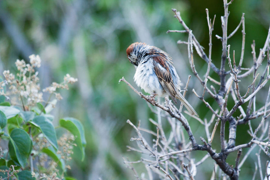 Sparrow One Animal Animal Wildlife Animals In The Wild Nature Bird Animal Themes No People Outdoors Branch Beauty In Nature House Sparrows Birds Wildlife Wildlife Photography Nature Bush Preening Birds Preening Feathers