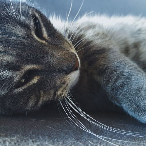 Cat Domestic Animals Domestic Cat Pets One Animal Cat Animal Themes Feline Close-up Whisker Animal Head  Mammal Whiskers Relaxation Resting Day Curiosity Zoology Animal Animal Nose No People
