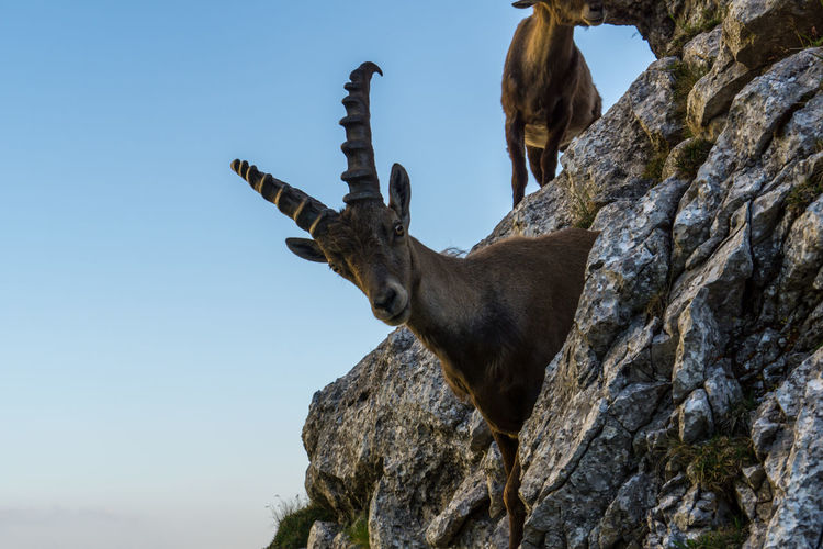 Alpine ibex Alpine Ibex Ibex One Animal Rock Animal Wildlife Sky Rock - Object Animal Themes Mammal Animal Animals In The Wild Nature Solid Day No People Clear Sky Vertebrate Low Angle View Outdoors Rock Formation Domestic Animals Horned Herbivorous Animal Head  Tyrol Austria
