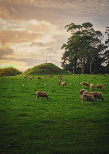 A man and his sheep Grass Green Lanscape Photography Lanscape Nature Sky Cloud - Sky Field