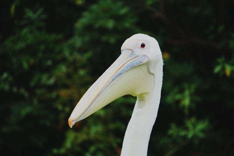 Pelecanus Onocrotalus Animal Wildlife One Animal Animal Themes Animal Vertebrate Focus On Foreground Close-up