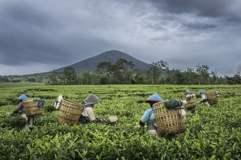 Farmers Collecting Tea Leaves In Farm Against Cloudy Sky