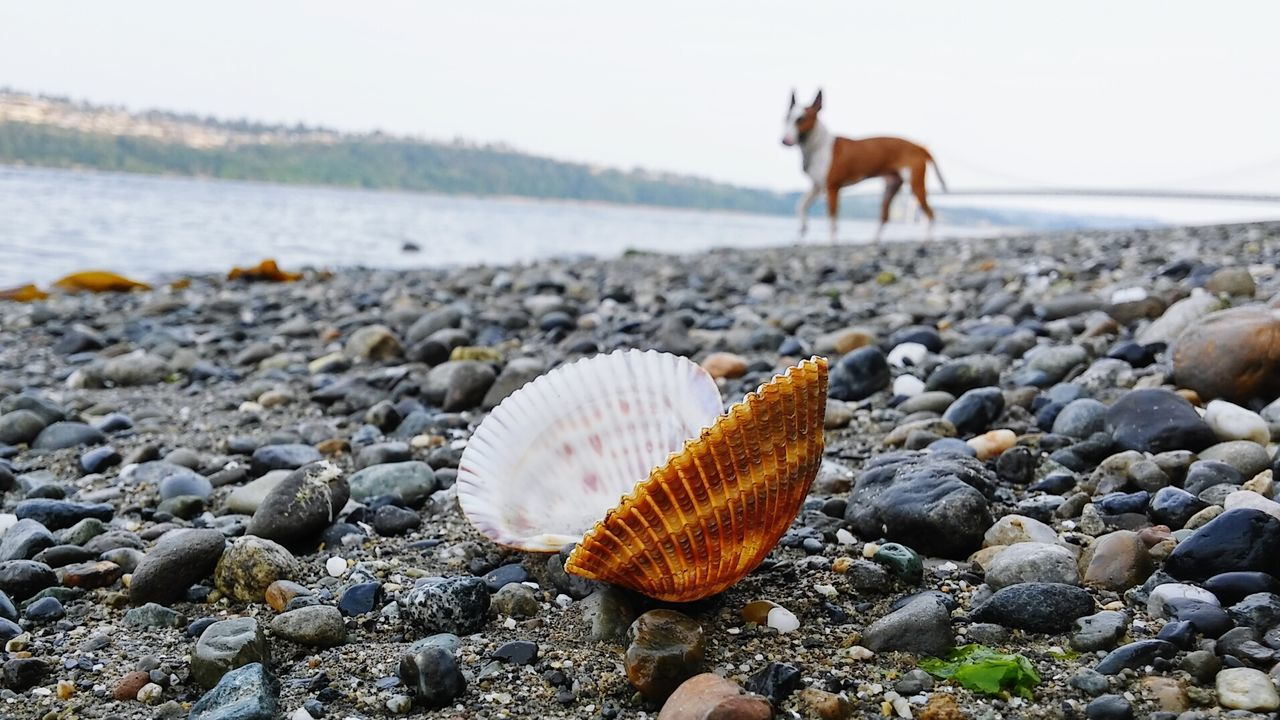 beach, animal themes, nature, shore, pebble, day, one animal, outdoors, sea, beauty in nature, sand, rock - object, seashell, no people, animals in the wild, water, pebble beach, close-up, mammal, sky