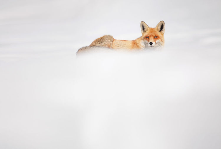 Fox on field during winter