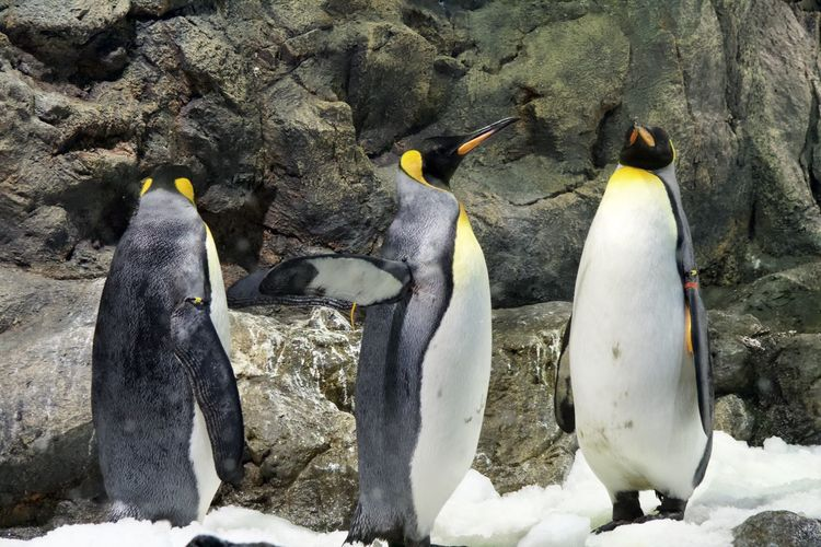 High angle view of penguins on rock during winter