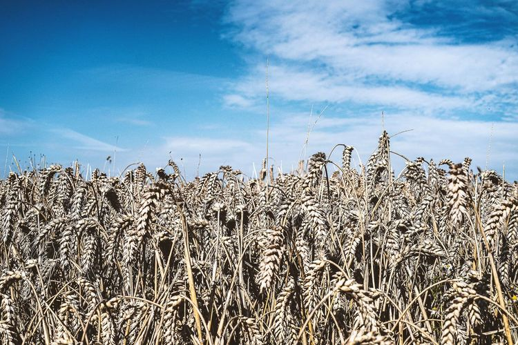 High angle view of stalks in field against blue sky