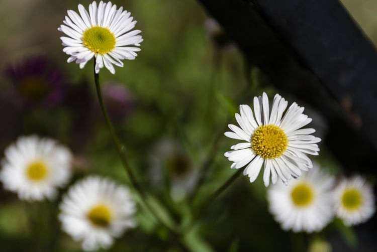 Gänseblümchen Flowering Plant Flower Freshness Fragility Vulnerability  Petal Plant Flower Head Growth Inflorescence Beauty In Nature White Color Close-up Daisy Pollen Nature Yellow Focus On Foreground No People Day Outdoors Nature EyeEm Nature Lover Nature_collection Bellis Perennis