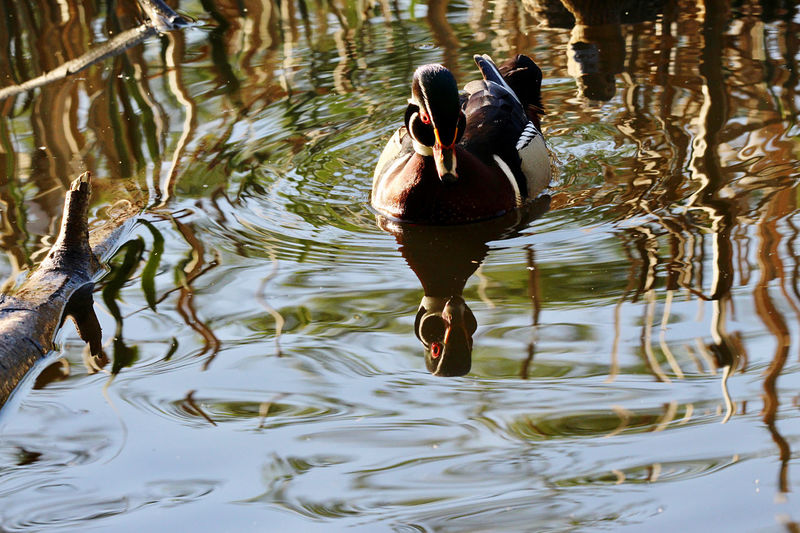Full length of a duck swimming in lake
