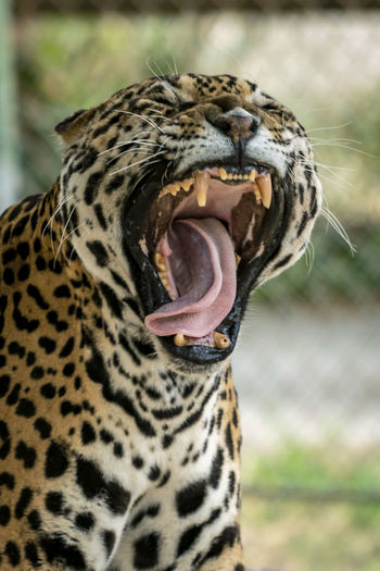 Tiger 4 Animal Animal Body Part Animal Head  Animal Mouth Animal Teeth Animal Themes Animal Wildlife Animals In The Wild Big Cat Carnivora Cat Close-up Day Feline Focus On Foreground Mammal Mouth Mouth Open No People One Animal Outdoors Roaring Undomesticated Cat Whisker Yawning