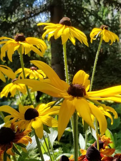 Close-up of Black-eyed Susan flowers. Blooming Blooming Flower Blooms Yellow Flower Macro Garden Botanical Garden Stem Tree Nature Flower Head Black-eyed Susan Flower Coneflower Pollen Stamen In Bloom Plant Life Blossom Botany
