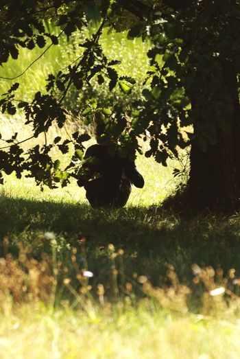 Sheltering from the midday sun, sweet chestnut groves L'Ardeche, France Growth Nature L'Ardeche France Shadow Plant Tree Grass Outdoors Day